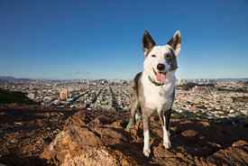 Grey and White Dog Standing on Hill above San Francisco