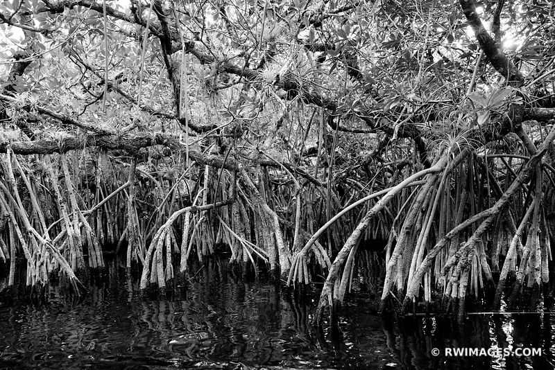 TURNER RIVER MANGROVE TUNNELS BIG CYPRESS NATIONAL PRESERVE EVERGLADES FLORIDA BLACK AND WHITE