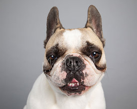 Mischievous French Bulldog Studio Portrait on Gray Blackground