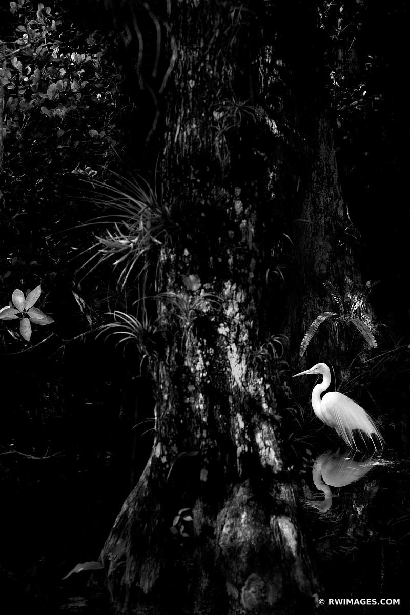 WHITE EGRET IN DARK SWAMP FOREST BLACK AND WHITE BIG CYPRESS NATIONAL PRESERVE EVERGLADES FLORIDA