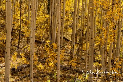 Aspen Forest No 2, Uncompahgre National Forest, Colorado