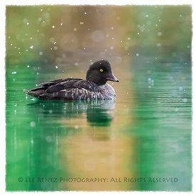 GOLDENEYE IN EARLY SNOWFALL