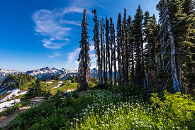 Dead Subalpine Firs in Mount Rainier National Park