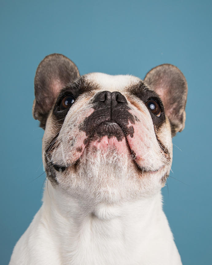 White French Bulldog Looking Straight Up against Light Blue Background