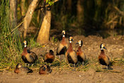 White-faced whistling ducks, Dendrocygna viduata, Lake St Lucia,  iSimangaliso Wetland Park, South Africa