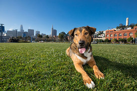 Happy Shepherd Hound Mix Lying  in park Near Coit Tower