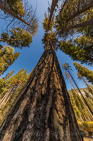 Ponderosa Pine in Kings Canyon National Park