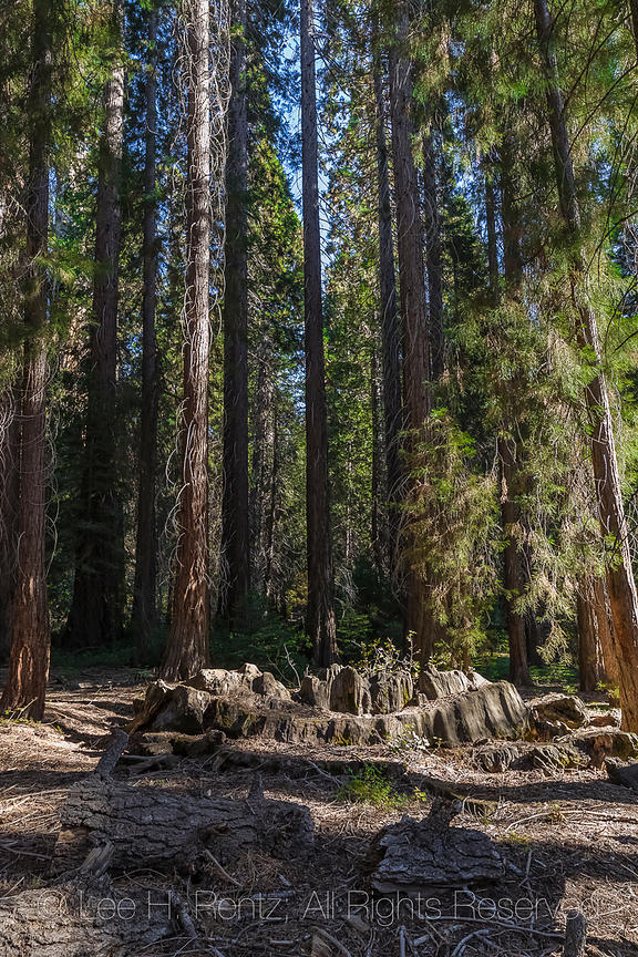 Centennial Stump in Grant Grove in Kings Canyon National Park