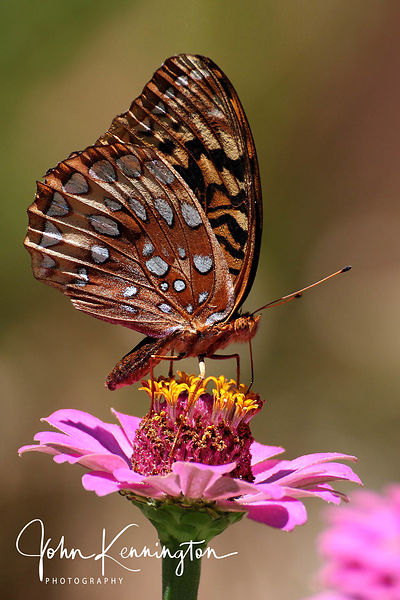 Great Spangled Fritillary on Zinnia, Bixby, Oklahoma