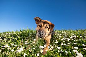 Shepherd Puppy on Hill Lying in Flowers