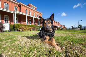 German Shepherd Lying Down in San Francisco Presidio's Main Lawn