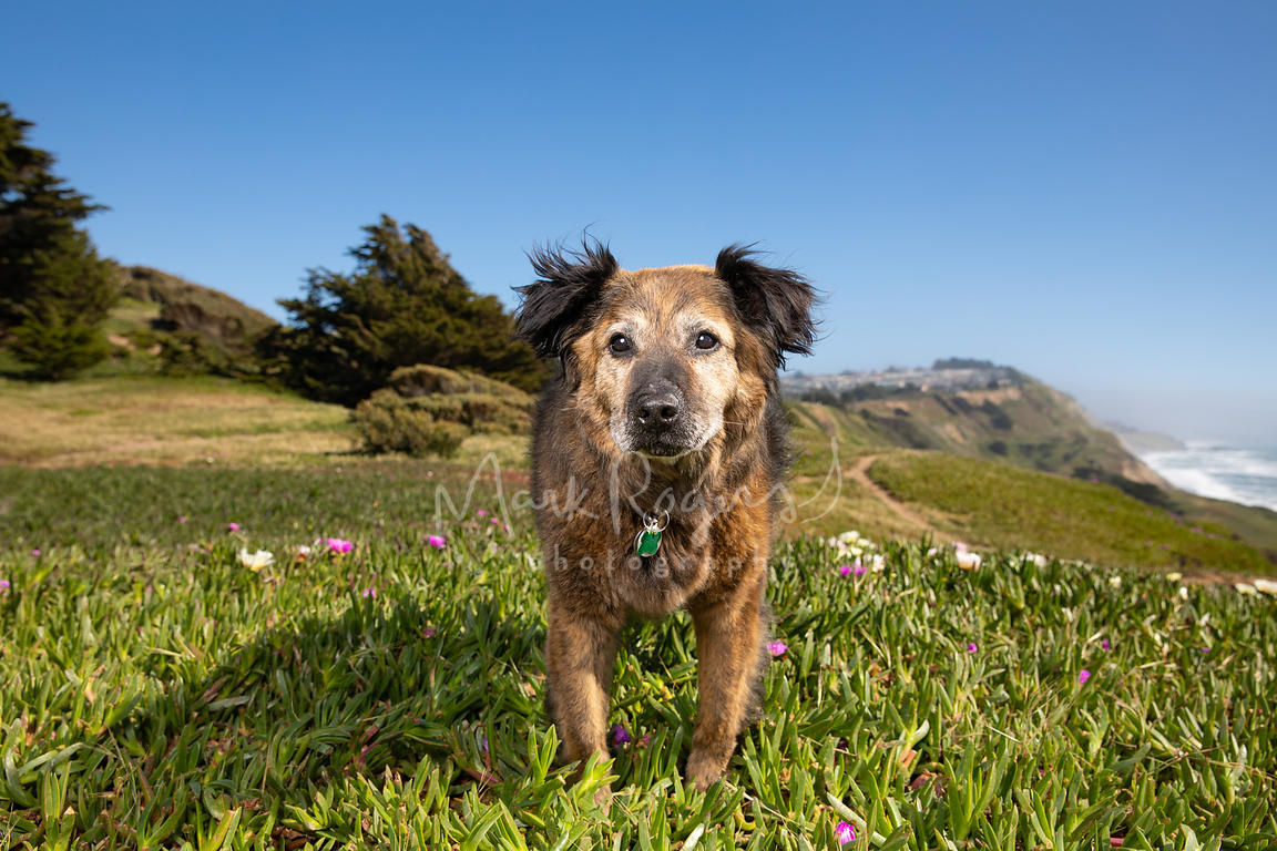 Large Senior Dog among blooming plants on San Francisco Cliff