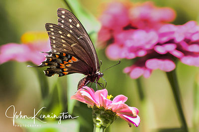 Black Swallowtail on Zinnia No. 2, Bixby, Oklahoma