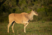 Common eland, Tragelaphus oryx, Amakhala Game Reserve, South Africa