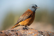 Cape rock thrush, Monticola rupestris, Marakele National Park, Waterberg, South Africa