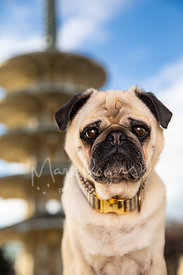Close-up photo of tan pug near Pagoda in SF Japantown