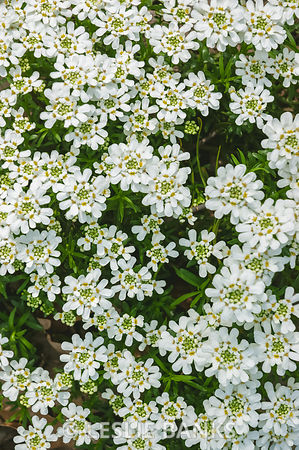Candytuft Flowers in Bloom