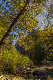 California Black Oak and Kings River in Kings Canyon National Park