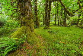 Bigleaf Maple and an Open Glade in the Hoh Rain Forest