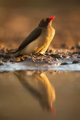 Red-billed oxpecker, Buphagus erythrorhynchus, Zimanga Game Reserve, South Africa