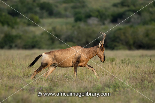 Red Hartebeest, Alcelaphus caama, Amakhala Game Reserve, South Africa