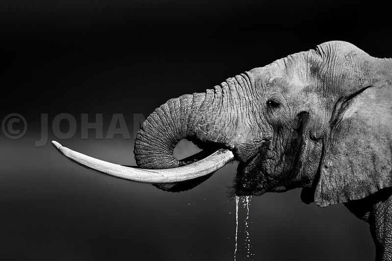 Elephant bull drinking water