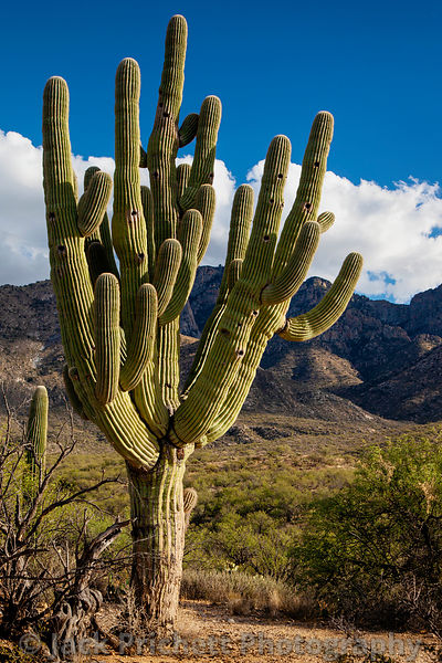 Large Saguaro cactus against desert sky with white clouds
