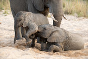 African elephant calves playing,, Loxodonta africana africana, MalaMala Game Reserve, South Africa