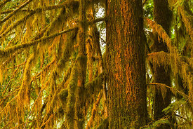 Mossy Sitka Spruce Branches in Olympic National Park