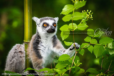 Ring-tailed lemur are large strepsirrhine primates. Scientifically, in the family Lemuridae, one of five lemur families, and ...