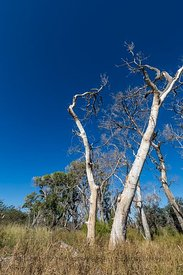 Dead Cottonwoods at Empire Ranch in Arizona