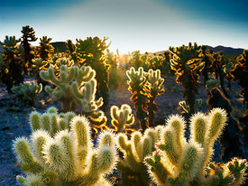 Cholla Garden Sunset