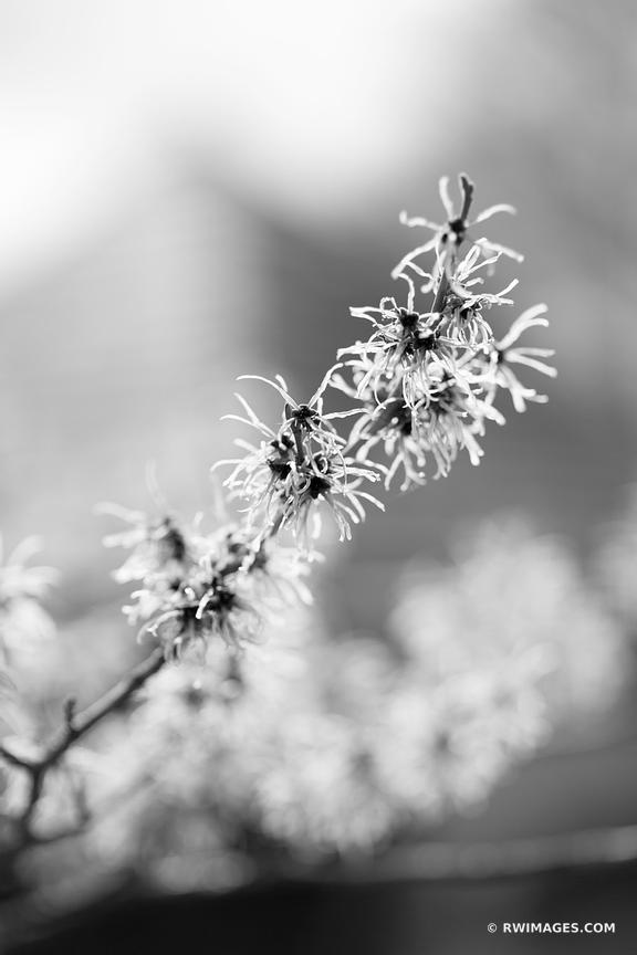 BLOOMING WITCH HAZEL SPRING BOTANICALS BLACK AND WHITE VERTICAL
