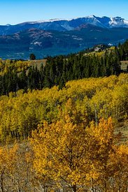 Aspen Trees along Beartooth Highway