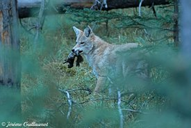 Coyote (Canis latrans), Banff National Park, Canada