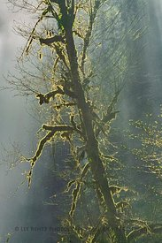Morning Mist and Mossy Trees in Silver Falls State Park