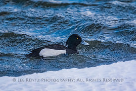 Tufted Duck on Quidi Vidi Lake