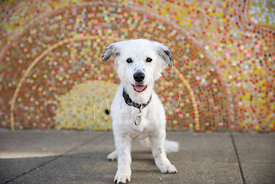 Smiling White and Black Spotted Dog in front of Sun Mural