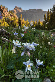 Yankee Boy Basin Columbines