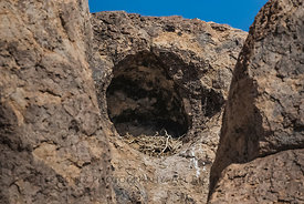 Great Horned Owl Nest in City of Rocks State Park, New Mexico