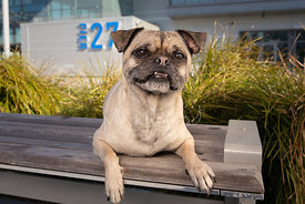 Pug with Silly Grin on Bench in San Francisco