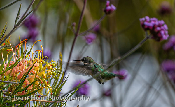 Hummingbird_Journey_II