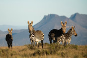 Cape mountain zebra, Equus zebra zebra, Samara Game Reserve, South Africa