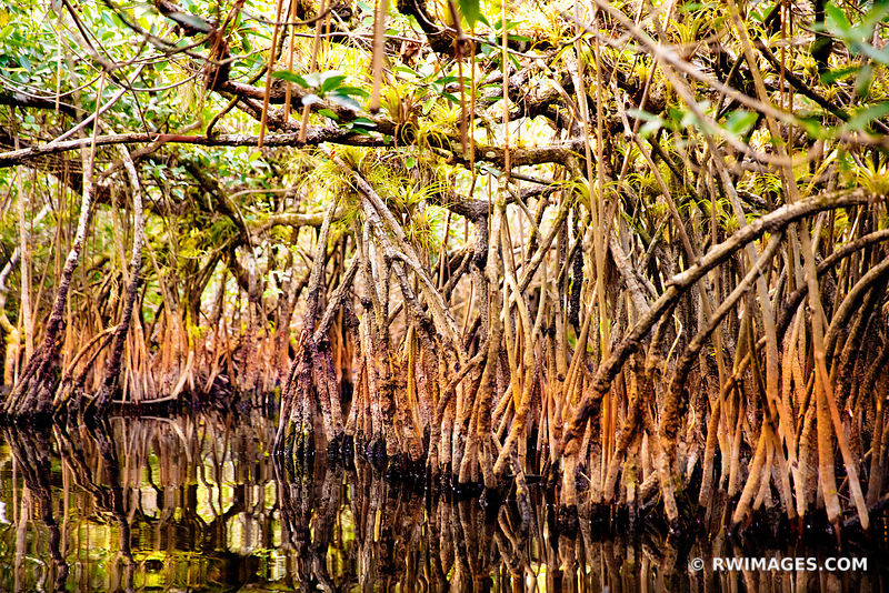 MANGROVE TUNNEL TURNER RIVER CANOE WATER TRAIL BIG CYPRESS NATIONAL PRESERVE EVERGLADES FLORIDA