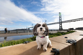 Small White and Gray Dog with SF Bay Bridge in Background
