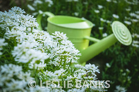 Watering Pail in Candytuft