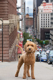 Labradoodle Standing on California St in San Francisco