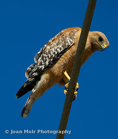 Red-shouldered_hawk