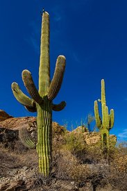 Saguaro Cactus in Saguaro National Park