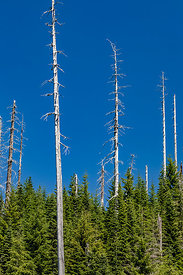 Silver Forest of Dead Trees in Mount St. Helens National Volcanic Monument